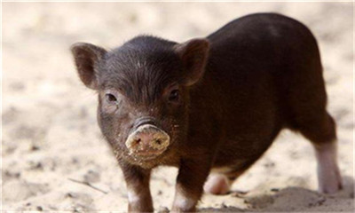 小猪长的不好,原因竟然是没有喝初乳?你知道吗?