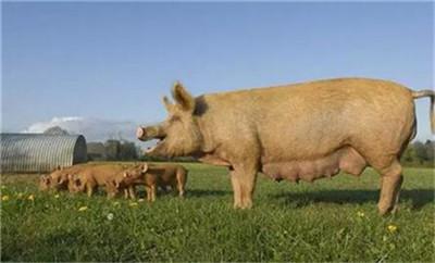 如何来判断每头母猪的繁殖能力?5个方面分析!