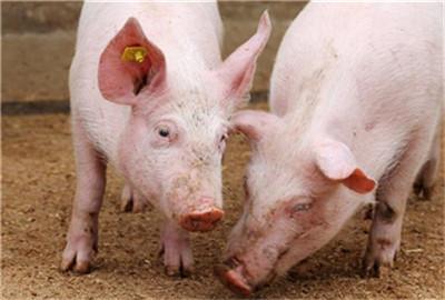 三元母猪应该如何留种?几种办法教给大家!
