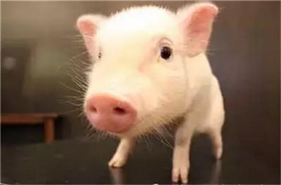 猪疫苗过敏原因及治疗方法?