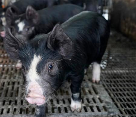 养猪场常用兽药使用介绍(建议养殖户收藏)