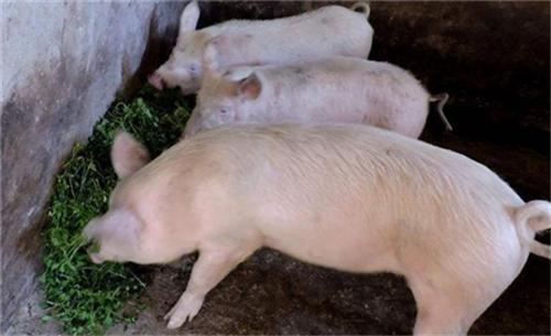 想要挣钱?猪场管理需重视的细节不容忽视