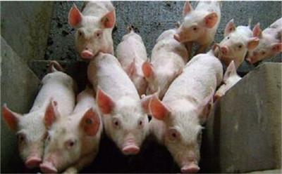 兽药知识 | 猪饮水给药的计算方法!