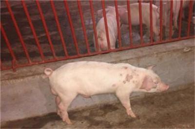 母猪产后,出现身体发热的情况怎么办?