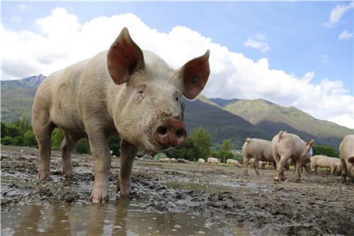 秋季猪病多 哪些病需要作为重点(1)