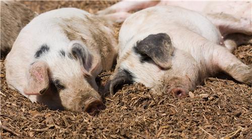 秋季猪病多 哪些病需要作为重点(2)