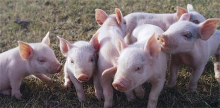 什么样的猪适合放在一起饲养?合理分群可以让猪的关系更融洽