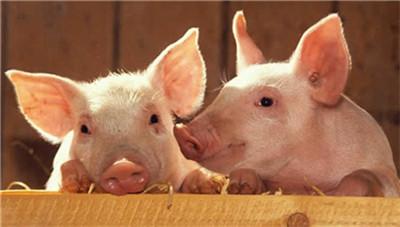百亿级基金,全力支持生猪稳产保供产业转型升级成功!