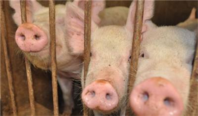 总体猪价跌势放缓趋稳,部分区域现反弹!