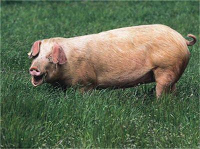 """猪价突然哑火!""""大周期""""拐点到否?生猪养殖龙头回应!"""