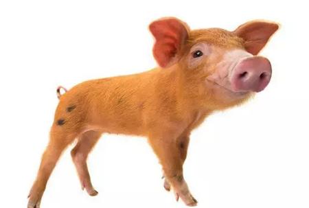 猪常见传染病的传播途径有哪些?