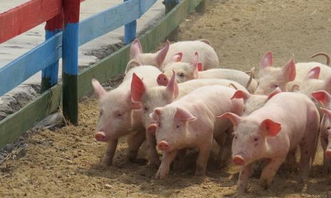 猪场内的环境卫生以及应对病猪的处理方法