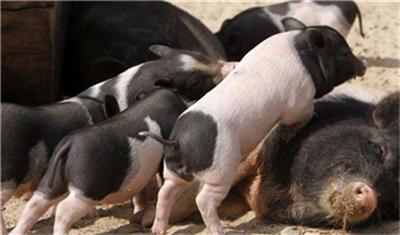 秋冬季节猪场保育阶段的高发病---水肿病,防治有何高招?
