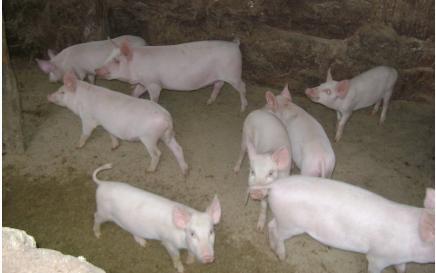 猪肉批发均价半月来降两成 肉价继续下降吗?