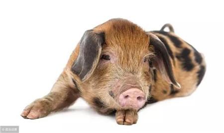 猪价一周内大幅下降3元/斤,养猪巨头回应:正常调整,拐点未至!