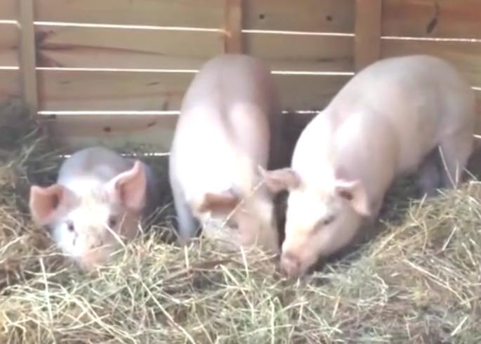 家里养猪的注意了,早知才好,快看看