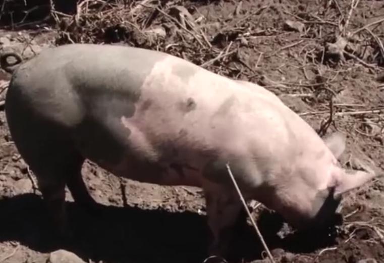分明在中国农村养猪,为何会被染上非洲猪瘟呢?