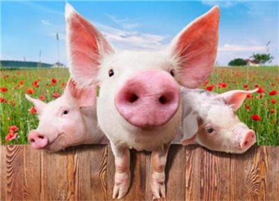 连跌创记录,猪价能稳住?猪农:养好猪,我们能赢!