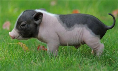 秋冬季节常见的猪病有哪些?又该如何防治?