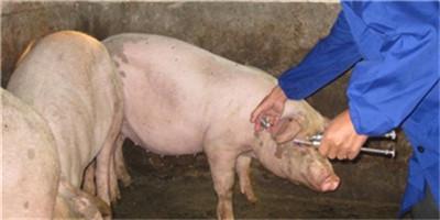详细讲解一下猪呼吸道疾病!让你们了解一下!