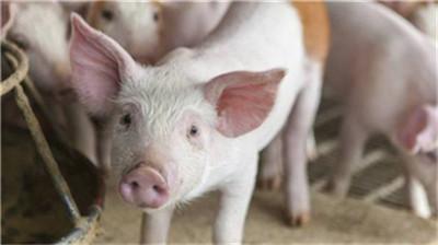 教您4招治疗母猪便秘的办法!来跟我学!
