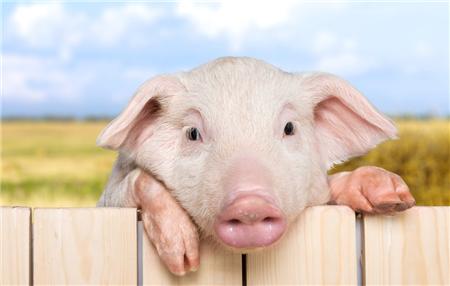 """华东猪价跟上""""节奏"""",理性!不要过于期待猛涨"""