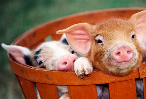 """肉价连跌,猪价""""弃""""涨,猪市拐点是否已经到来?"""