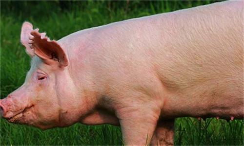 秋季多发的十大生猪疾病及治疗方法(1)