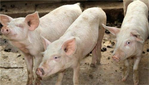 秋季多发的十大生猪疾病及治疗方法(2)
