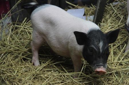 一座棚子就能解决你养猪难的问题,原来猪场还可以这么建