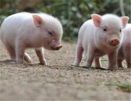 母猪奶水不足?千万注意了!可能会对猪场造成危害