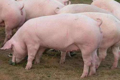 养猪户掌握这些知识,可提高母猪生产效率!