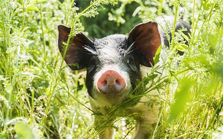 猪价年底是跌还是涨?抓住最后上涨的机会!