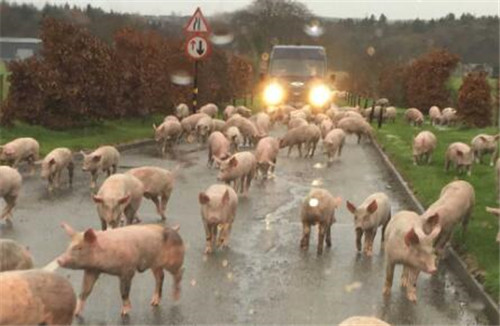 """警惕!猪价涨势""""脚滑"""",官方透露:猪价或许要涨到头了?"""