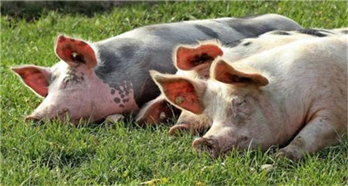 妊娠母猪怎么管理?妊娠管理指南 (连载2)