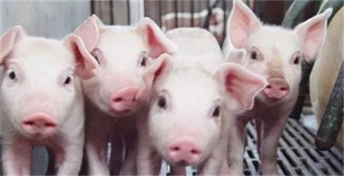 妊娠母猪怎么管理?妊娠管理指南 (连载3)