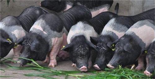 妊娠母猪怎么管理?妊娠管理指南 (连载4)
