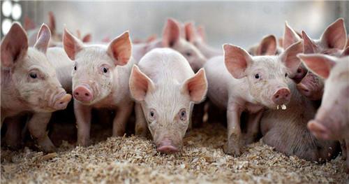 妊娠母猪怎么管理?妊娠管理指南 (连载6)