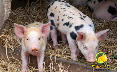 在农村办个养猪场,该怎样科学建设好?