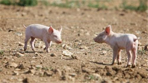 猪霉菌中毒怎么办?霉菌毒素中毒的防控(1)