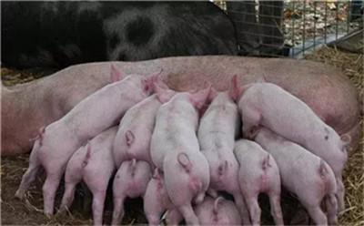 湖南:2019~2020年主要养猪扶持政策来了!