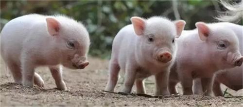 越南突然停止向中国出口猪肉,背后原因是这个?