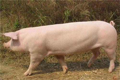 你家猪真的健康吗?10招轻松识别猪是否健康!