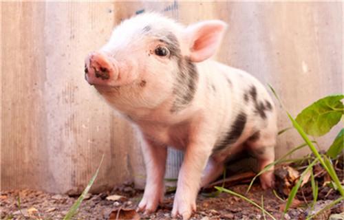 你会养猪吗?健康养殖技术的探讨(1)