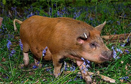 吴荣杰:非洲猪瘟凭眼观超早期识别与预防性淘汰技术探讨