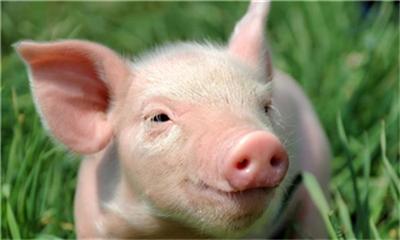 中南六省生猪禁调令生效,对养殖户、未来猪价影响有多大?