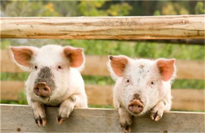 猪病防治,仔猪跳跳病从何起?我们又该如何应对?