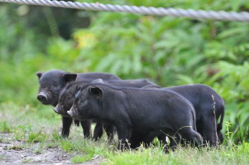 官方表示4大利空因素犹存,猪价后期走势艰难?