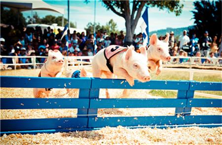 生猪价格持续回落 后期或有小幅波动