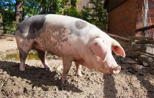 母猪的发情规律有哪些?怎么鉴定母猪发情(1)